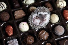 Chocolates and Hedgehogs what's more, they're THORNTON'S Chocolates!