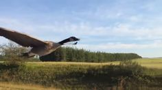 An endearing new video shows a wild Canada goose flying alongside the driver's window as he leads it to a lake.