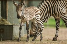 Marwell welcomes endangered zebra filly, and two rare Somali Wild Ass fillies. Marwell Zoo, Livestock, Farm Life, Beautiful World, Farm Animals, Britain, Wildlife, Pets, Hampshire