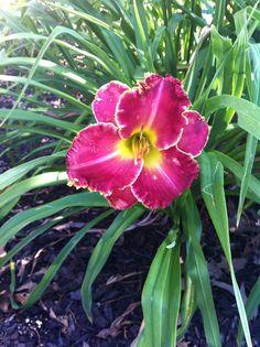 Pretty daylily in my garden.