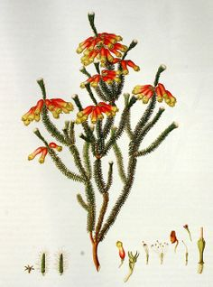 Erica massoni L.f. By Franz Bauer (1758-1840) (Delineations of Exotick Plants) [Public domain], via Wikimedia Commons