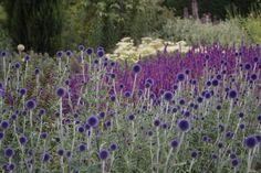 Echinops ritro 'Veitchs Blue' | Lambley Nursery