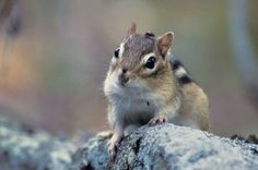 Eastern Chipmunk Images