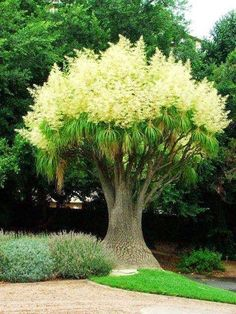 Stunning nature: Beautiful Ponytail Palm in Full Bloom