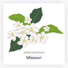Missouri State Flower: White Hawthorn