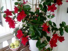 Syksyn kukkaloistoa,maljaköynnös kukkii kauniisti. Tässä silmäniloa kaikille👍!!