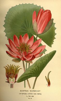 Egyptian Water Lily. Favourite flowers of garden and greenhouse /.  London and New York :Frederick Warne co.,1896-97..