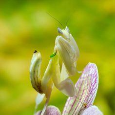 ハナカマキリ カラフルな花びらに擬態することで知られるカマキリの一種。東南アジアに生息する。