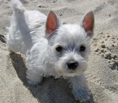 Luna the West Highland Terrier.. I pretty sure this is the world's most epic puppy.