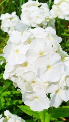 White Phlox – Famous Last Words Beautiful Flowers Pictures, Beautiful Flowers Garden, Flowers Nature, Flower Pictures, Exotic Flowers, Pretty Flowers, Plant With White Flowers, White Garden Flowers, White Perennial Flowers