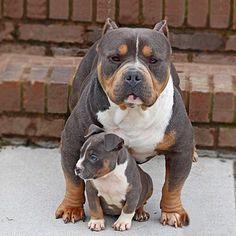 Dog, Pitbull, Pit, Dogs, TShirt, Dog TShirt, Dogs TShirt, Dog Apparel, Dog Clothing, Dog T-Shirt Big Dogs, I Love Dogs, Cute Dogs, Dogs And Puppies, Doggies, Stafford Pitbull, American Bully, Mundo Animal, Dogs Of The World