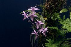 Barkeria spectabilis (Leon Verde) Tags: orchid orchidaceae orquidea barkeria leonverde ochss242201 jdc220209d barkerisspectabilis ph1222230411