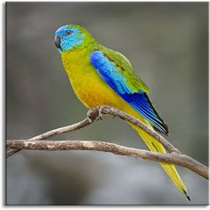 Turquoise Parrot by Julian Robinson via Flickr - Photo Sharing!