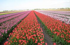 Tulip fields in Holland (Image: Amy Bonner)