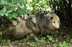 possum pictures | The Virgina Possum gives birth to about eight young, but also many ...