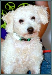 TEDDY* is an adoptable Poodle Dog in Frederick, MD. Dogs 1 year to 5 years = $92.50 - FEE INCLUDES: neutering/spaying, intial distemper vaccination, rabies vaccination voucher, microchip/registration,...