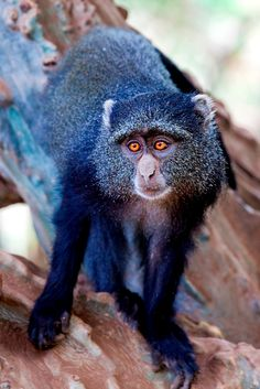 Macaco Azul / Blue Monkey by N. Feans http://flic.kr/p/73m6kz