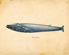 Vintage Blue Whale Print 8x10 P86 by OrangeTail on Etsy, $14.00