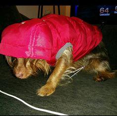 Dorkie hates new coat