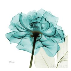 Teal Rose Print by Albert Koetsier at AllPosters.com