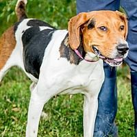 Pictures of Magenta a Treeing Walker Coonhound for adoption in Martinsville, IN who needs a loving home.