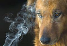 Chó có thể nhận biết người bị ung thư phổi