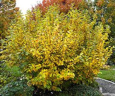 Witch hazel. Zone 5. Excellent foliage throughout all 4 seasons. Perfect shrub for the shade!