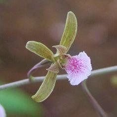 Singapore orchid species ... some 226 species of native orchids have been recorded in Singapore: Arundina gramminifolia Bulbophyllum vaginatum Dendrobium crumenatum Eulophia graminea Thrixspermum calceolus