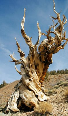 Oldest trees are also striking and in some cases, in their own way quite beautiful. Great Basin bristlecone pine