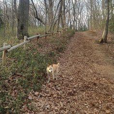 【masakou0301】さんのInstagramをピンしています。 《2017.2.14 tue. 初のトトロの森へ。 アップダウンも殆ど無くて人にも犬にも優しい森の道でした^ ^ ちょこっと行くのに丁度良いけど駐車場ないのが難点(*_*) * #トトロの森  #八国山緑地 #狭山丘陵 #犬 #雑種犬 #ミックス犬 #自然  #森 #里山 #風景 #dog #instadog #nature #forest #scenery #landscape #wood #green》