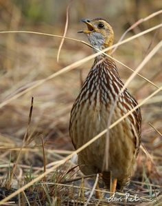 WHITE-THROATED FRANCOLIN Camaroon.  (Francolinus albogularis)
