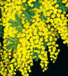Mimosa flowers - heavenly but strong perfume