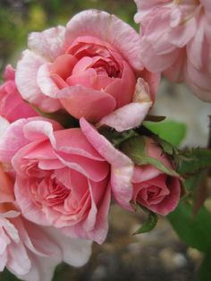 Cecile Brunner -- antique polyantha nicknamed the Sweetheart Rose. Buds look like tiny hybrid teas, come in sprays (30-40 petals). Long lived and healthy, tolerates poor soil and part shade. 3-4', bushy. EarthKind. Ducher, 1881.