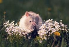 """""""adorable rat"""" - Yahoo Canada Image Search Results"""