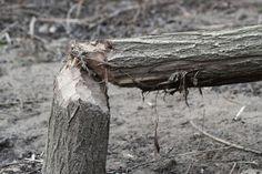 2013-04-01: return of the beaver