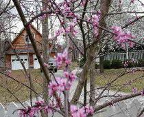 Information on the beautiful Eastern Red bud tree.