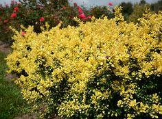 Ilex 'Drops of Gold' | Star Roses & Plants