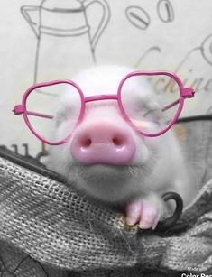Tiny Pigs, Small Pigs, Pet Pigs, Guinea Pigs, Super Cute Animals, Cute Baby Animals, Animals And Pets, Farm Animals, Mini Teacup Pigs