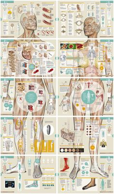 I love this anatomy breakdown #infographic. Beautiful art!