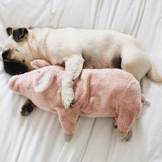 how cute is this pug puppy and his cuddle buddy??