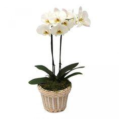 Orchidee White in Wicker pot