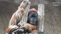 Zoo Leipzig - Schimpansen & Orang Utans -- Shimps - Apes - Monkeys