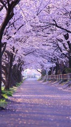 """lifeisverybeautiful: """" Cherry Blossom, Gifu, Japan via PHOTOHITO Cherry Blossom , Beautiful Tree Tunnel """" Beautiful World, Beautiful Places, Beautiful Pictures, Beautiful Dream, Beautiful Scenery, Beautiful Dresses, Romantic Places, Nature Pictures, Tree Tunnel"""