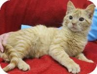 Blackwood, NJ - Domestic Shorthair. Meet Beef, a kitten for adoption. http://www.adoptapet.com/pet/10770791-blackwood-new-jersey-kitten