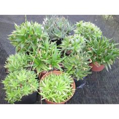 DAY AUCTION** Clusters of Haworthia and Aloe. 9 pots and 1 bag in the Plants category was listed for on 17 Dec at by Deonrick in Middelburg Plants, Pot, Aloe, Herbs, Garden