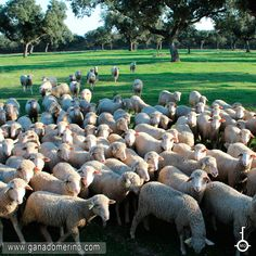 Rebaño de Ovejas de la Ganaderia La Llave Pura raza merino Garden Sculpture, Outdoor Decor, Goats, Cattle