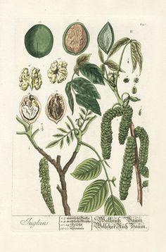 A Victorian botanical plate of a walnut plant.