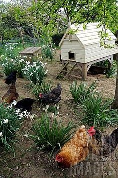 Chicken pens don't have to be ugly! There are lots of plants that chickens won't eat.