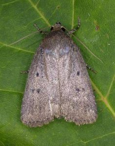 The Moths of Suffolk - 2299 Mouse Moth, Amphipyra tragopoginis, (Clerck, Moth, Butterflies, Insects, Beauty, Butterfly, Beauty Illustration