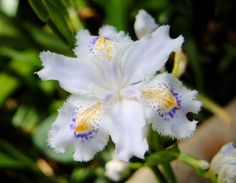 wild japanese iris | Iris japonica